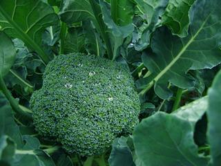 ブロッコリーの育て方|秋まきがお勧めです