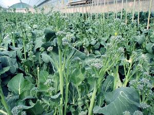 茎(スティック)ブロッコリーのプランター栽培