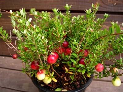 Cranberry (4).jpg