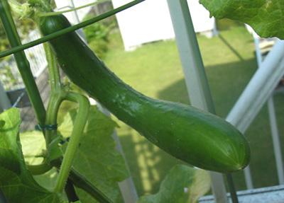 Cucumber (1).jpg