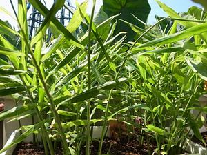 ショウガのプランター栽培|芽出しをしてから植え付けます