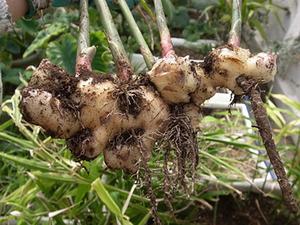 ショウガの育て方2|追肥と土寄せで根の太りを促進!