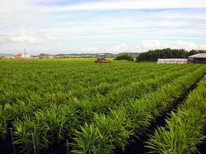 ショウガの育て方|湿度温度管理と施肥がコツ