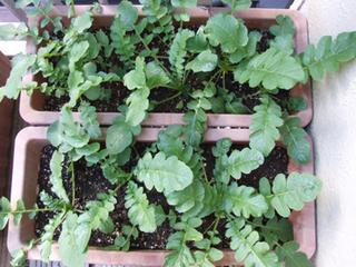 大根の育て方|土作りと追肥がコツ