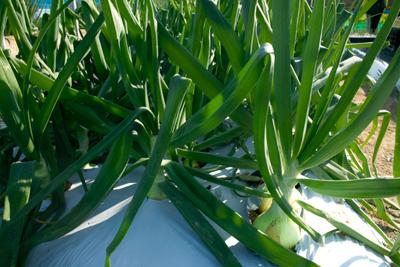 Onion (2).jpg