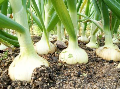 Onion (3).jpg