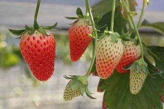 イチゴの育て方|2、3年で苗を更新します