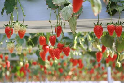 Strawberry (9).jpg