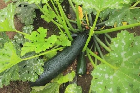 Zucchini03.jpg