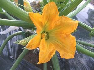 ズッキーニの育て方|家庭菜園なら花や幼果も味わえる!