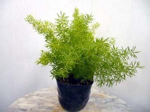アスパラガスの育て方|苗から育てて翌年から収穫