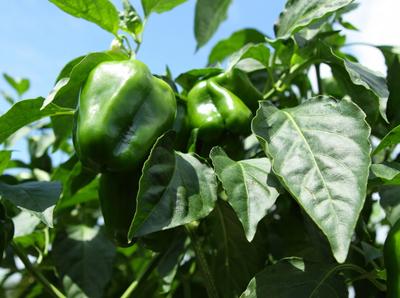 bell pepper (3).jpg