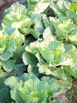 cabbage (1).jpg