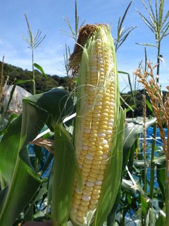 corn (5).jpg
