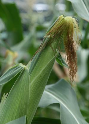 corn (6).jpg