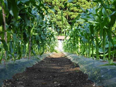 corn (8).jpg