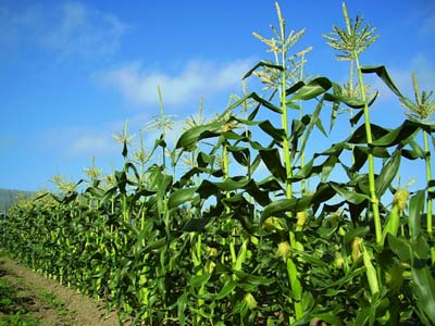 corn (9).jpg