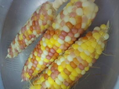 トウモロコシに他品種が混ざるのは?