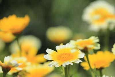 crown daisy (4).jpg