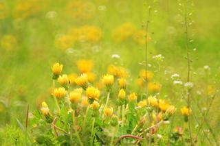 タンポポの育て方|簡単に栽培でき健康にも良い