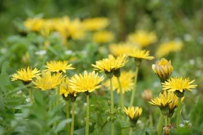 dandelion (2).jpg