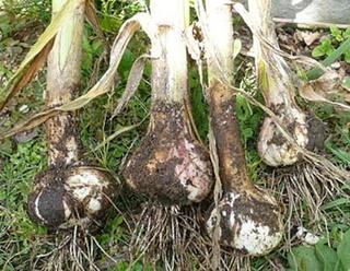 ニンニクの育て方|簡単に栽培、芽かきを忘れずに!