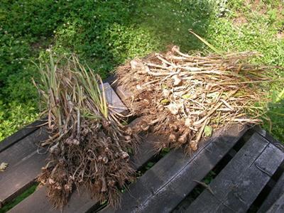 garlic0 (2).jpg