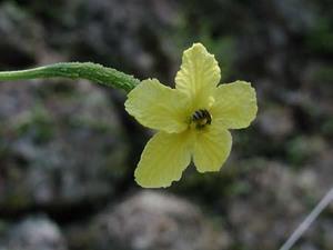 ゴーヤの雌花が咲かない