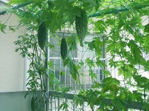 ゴーヤーのプランター栽培|摘芯で茂らせグリーンカーテンを!