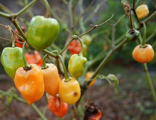 トウガラシの辛さは調節できる?