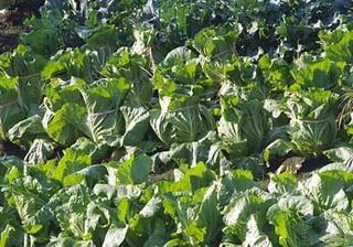 ハクサイの育て方|肥料を効かせて大きい結球に