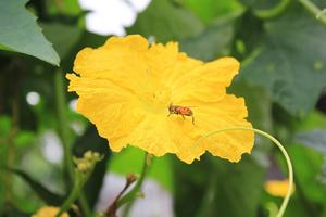 ヘチマの育て方|葉が茂るのでグリーンカーテンに最適!