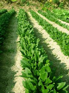 ホウレンソウの育て方|加工されたタネで発芽率アップ!