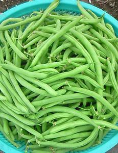 つるありインゲンの育て方|長期間収穫を楽しめます