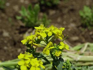 カブの育て方|品種で収穫適期が違うので注意します