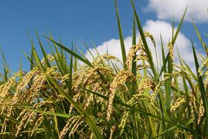 米づくりのポイント|無農薬栽培で作ろう