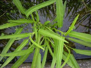クウシンサイのプランター栽培|排水穴をふさぎヒタヒタの水で管理