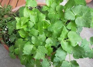ミツバの育て方|用途も多く栽培も楽