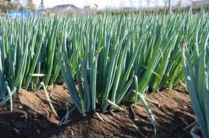 ネギの育て方|追肥と土寄せがコツです