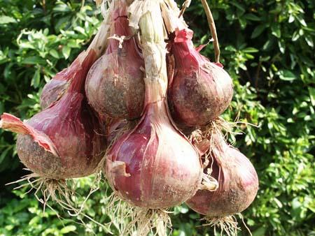 onion1B.jpg