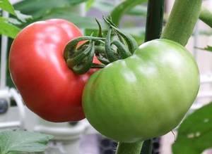 トマトの育て方|大玉トマトに挑戦!