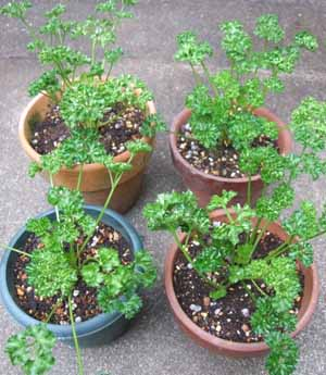 parsley (3).JPG