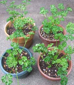 parsley (3).JPG