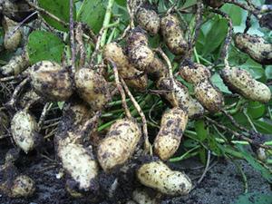 ラッカセイのプランター栽培|最高の味は家庭菜園の特権!