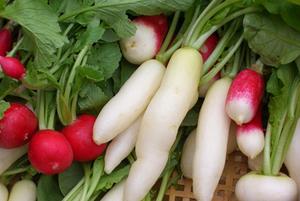 ラディッシュの育て方|タネまきをずらし長期収穫