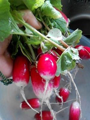 radish (6).jpg