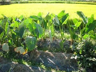 サトイモの植え付けのコツ