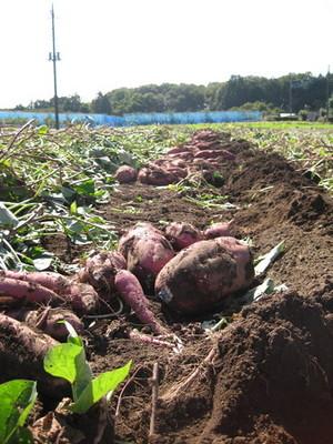 サツマイモ 苗の作り方