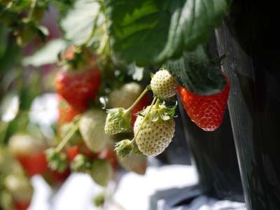 strawberry (1).jpg
