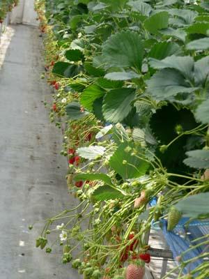 strawberry (2).jpg